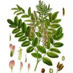 Ayurveda Tipp: Süßholz - auch zur Erkältungsvorbeugung
