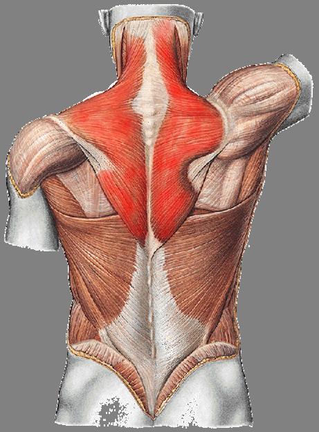 Musculus trapezius (Kapuzenmuskel)